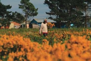 La piante di rooibos in fiore a settembre