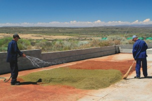 Il rooibos raccolto viene lasciato al sole dove avviene la fermentazione e la tipica colorazione rossa