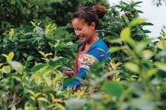 La raccolta del tè in Cina, nella regione di Yunnan