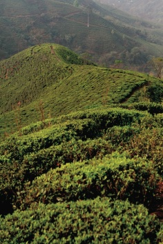 I giardini indiani del tè - Selimbong