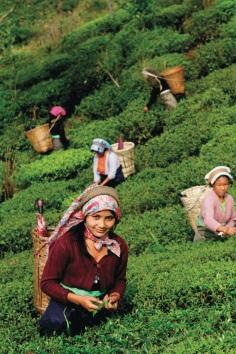 Selimbong, la raccolta del tè viene fatta ancora a mano come in tante altre zone