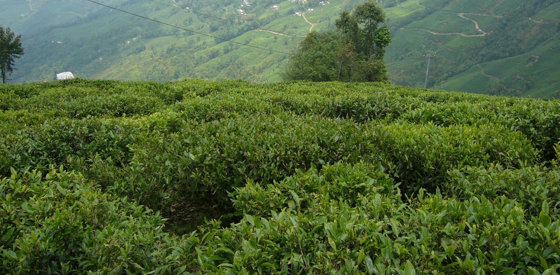 Alla scoperta del tè del Darjeeling con un esperto