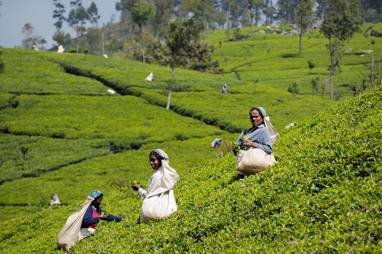 Il lavoro nelle piantagioni di tè