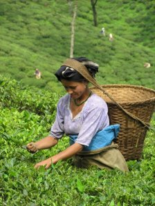 I lavoratori delle piantagioni di tè