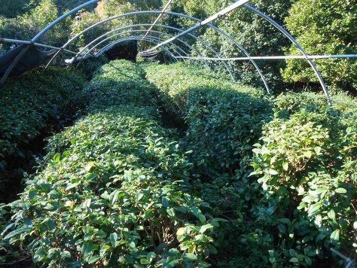 Piantagione di tè Italia